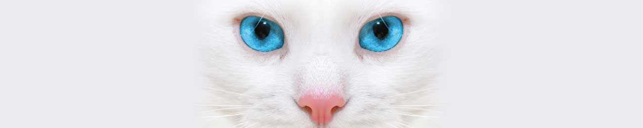 Splashbacks Glass design - White cat with blue eyes - 100661 Image