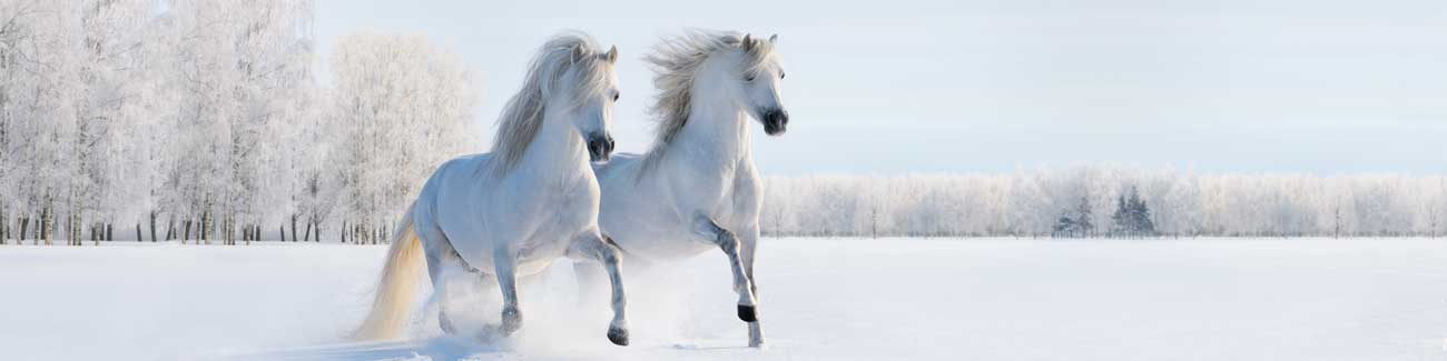 Splashbacks Glass design - Beautiful white horses in the snow - 100674 Image