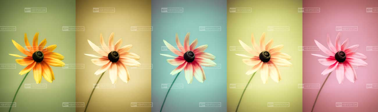 Splashbacks Glass design - Colorful Chamomile - 100502