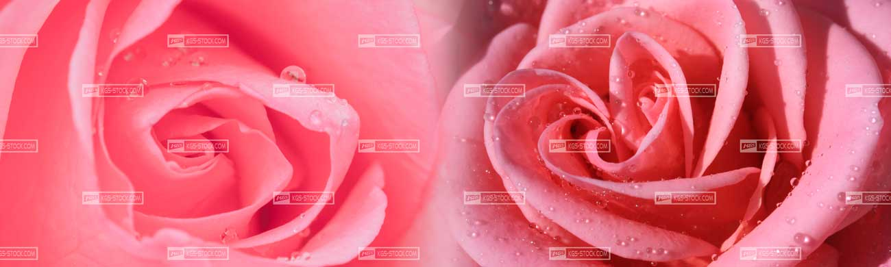 Splashbacks Glass design - Pink roses - 100513 Image