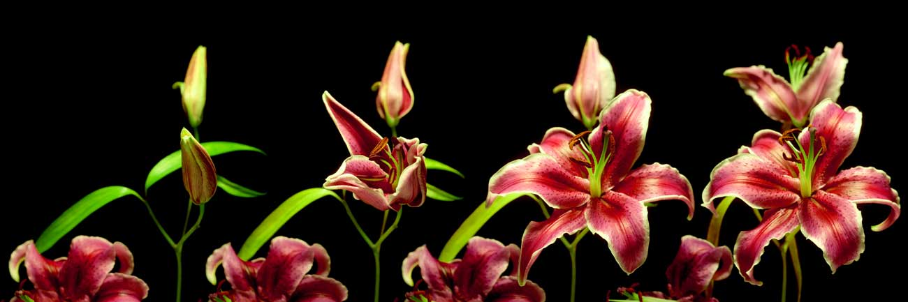 Splashbacks Glass design - Amazing orchids at the black background - 100579 Image